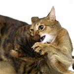 【猫プロレス】ラウンド2♪ 元気ですか!アントニオふうvsキレてないですよ!長州こりく♪ 出た〜!! 必殺技!!|【コーヒー栽培】コーヒーの蕾が開き始めました♪