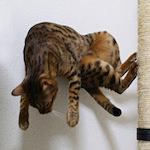 【スノーベンガル】ふくちゃん♪木登りしたよ♪ 【猫と学ぶ日本の未来】最も根本的かつ愛国的な義務とは、国民として十分な情報と知識を持つ努力を怠らないということ
