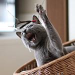 【スノーベンガル】カンフーキャット ふくちゃんのアチョ〜♪|【猫と考える日本の未来】特定保健用食品と栄養機能食品と機能性表示食品と『三ヶ日みかん』