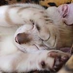 【スノーベンガル】だいちゃんのイッツ・ショータイム♪|【猫と学ぶ日本の未来】下町ロケットとガウディ計画と日本の医療 2016年度診療報酬改定 在宅医療の強化打ち出す
