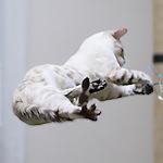 スノーベンガル だいちゃんの必殺技炸裂!!術後だけど元気ハツラツぅ〜♪|【猫と考える日本の未来】今、命があなたを生きている 人生のマニュアル化