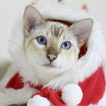 【スノーベンガル】だいちゃん&ふくちゃん♪ 生まれて初めてのクリスマス♪|【食の安心・安全】豆腐の旬は冷奴の夏ではなく1月〜2月!!