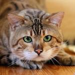 ベンガル猫専門キャッテリーラウレア(LAULEA)へ遊びに行ってきたよ♪