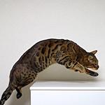 ベンガルりくたんと一緒にレッツダンシング♪ 【Instagram】結果発表 IGersJP×「ピュリナ プロプラン」愛犬・愛猫フォト投稿アンバサダー