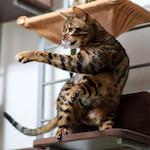 【膝蓋骨脱臼】猫の変形性膝関節症の進行予防とサプリメントの効果について|ベンガルりくたんのカンフーキャットでアチョアチョアチョー♪