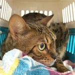 【膝蓋骨脱臼】猫の膝蓋骨外方脱臼 治療プログラム|手術の予約を入れるために動物病院へ行ってきました|術前検査で心筋症も見つかりました
