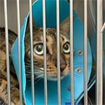 【膝蓋骨脱臼】猫の膝蓋骨外方脱臼 治療プログラム|血液凝固第Ⅷ因子欠乏症の疑いで手術はできず(先天性血液凝固因子の異常)