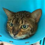 【膝蓋骨脱臼】猫の膝蓋骨外方脱臼 治療プログラム|術後4日目 傷の具合を診てもらうために動物病院に行ってきたよ♪|【手術後の栄養管理】術後管理に用いるフードについて