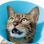 【膝蓋骨脱臼】猫の膝蓋骨外方脱臼 治療プログラム|術後8日目|くうちゃんが食べちゃうぞ〜♪