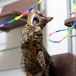 【膝蓋骨脱臼】猫の膝蓋骨外方脱臼 治療プログラム|リハビリ 術後25日経過|スーパーライザー・Hyper5000A2Jによる(光線照射療法)治療を受けてきたよ♪|【猫グッズ】レインボーキャットチャーマーで楽しくリハビリ♪