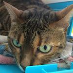 【膝蓋骨脱臼】猫の膝蓋骨外方脱臼 治療プログラム|リハビリ 術後29日経過|スーパーライザー・Hyper5000A2Jによる(光線照射療法)治療を受けてきたよ♪|【皮膚のしこりとガン】かいちゃんの検査のため動物病院へ行ってきたよ♪