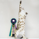 【TICA Cat Show】だいちゃん キャットショーに参加したよ♪ TICA&CPP(CATS PARADISE PARTY) 26th-27th CAT SHOW