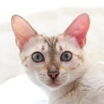 【猫の病気】ふくちゃん(スノーベンガル)の発熱 動物病院へ行ってきました