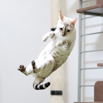 【猫の病気】ふくちゃん(スノーベンガル)再診のため動物病院へ行ってきました|獣医師と患者の信頼関係を生むコミュニケーション