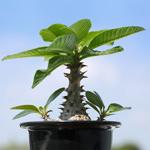 【塊根・塊幹植物】Pachypodium baronii var. windsorii seeds パキポディウム・ウィンゾリーの種まきをしたよ♪ 【コーヒー栽培】コーヒーの花の蕾が膨らんできました♪Coffee flower blooming