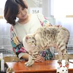 【TICA Cat Show】だいちゃん キャットショーに参加したよ♪ TICA ASIA Regional Cat Show