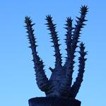 【塊根・塊幹植物】Pachypodium baronii var. windsorii , seeds パキポディウム・ウィンゾリー 休眠はじめました
