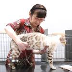 【TICA Cat Show】だいちゃん キャットショーに参加したよ♪ TICA&SCC(SHONAN CAT CLUB)44th-45th Cat Show