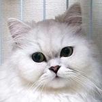 【膝蓋骨脱臼】猫の膝蓋骨内方脱臼 みうちゃん チンチラペルシャ
