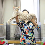 【TICA Cat Show】だいちゃん キャットショーに参加したよ♪ TICA&CREDO(C.A.T.CREDO)57th-58th Cat Show