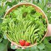 【今日の収穫】グリンピース・リーフレタス・いちご♪|【多肉植物】セロペギア・シモネアエ(Ceropegia simoneae)先端から葉が開き始めました♪