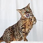 【ベンガル】くうちゃん猫じゃらしに大興奮♪|【多肉植物】セロペギア・シモネアエ&アルマンディ(Ceropegia simoneae & armandii)成長記録♪