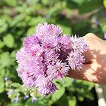【家庭菜園】チャイブの花を摘んでチャイブビネガーを作ろう♪|【スノーベンガル】だいちゃんの華麗なダンス♪|【多肉植物】セロペギア・シモネアエ(Ceropegia simoneae)成長記録♪