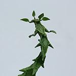 【多肉植物・ガガイモ科・セロペギア属】Ceropegia bosseri, armandii & simoneae Madagascar , seeds セロペギア・ボッセリ・アルマンディ・シモネアエ 育て方・株の増やし方 備忘録
