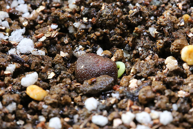 Operculicarya pachypus , seeds (オペルクリカリア・パキプス