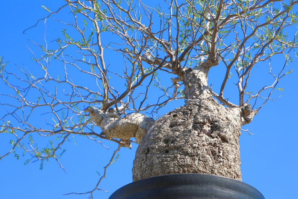 operculicarya pachypus Madagascar Seeds