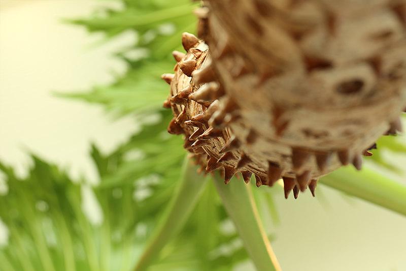 フィロデンドロン・セローム Philodendron selloum