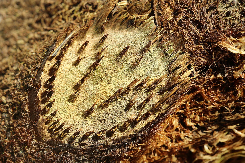 Cyathea spinulosa ヘゴ