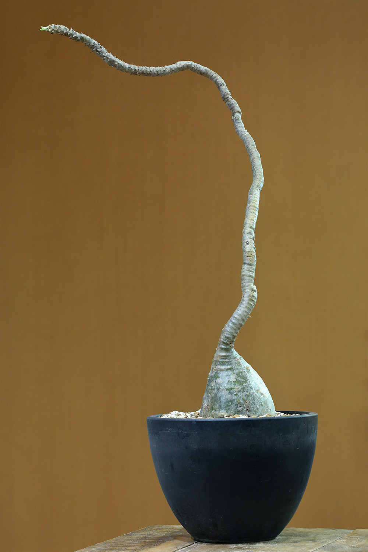 Pachypodium baronii var. windsorii(パキポディウム・ウィンゾリー)