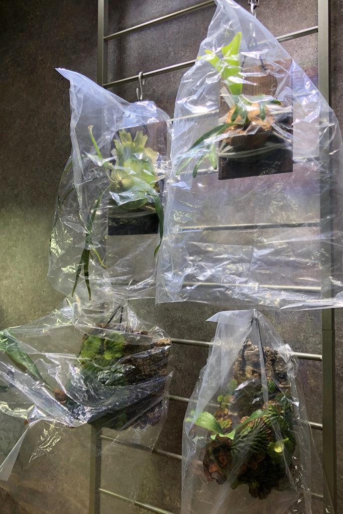 Platycerium madagascarien 栽培環境