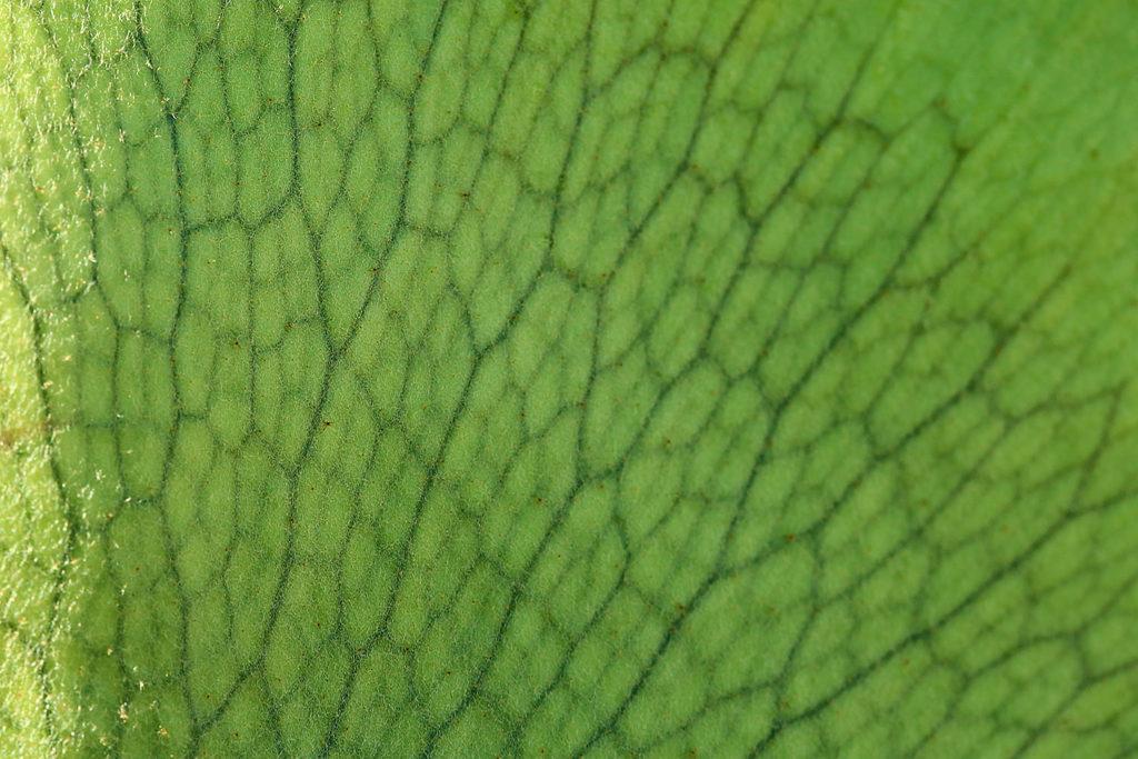 Platycerium Mt. lewis マウントルイス