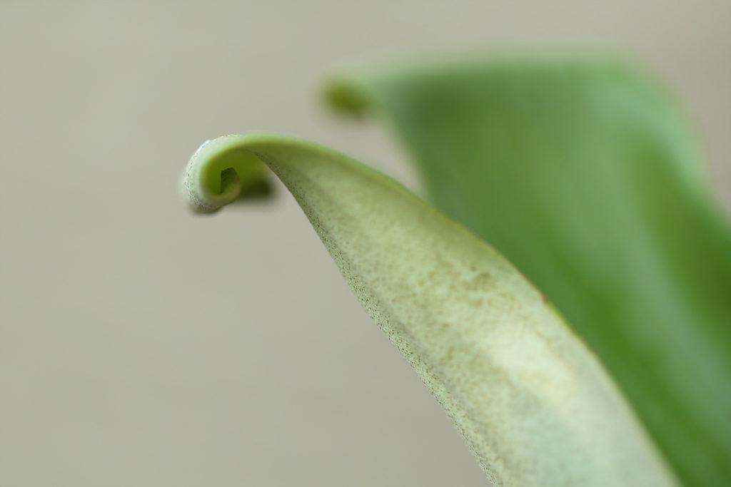 Platycerium madagascariense マダガスカリエンセ