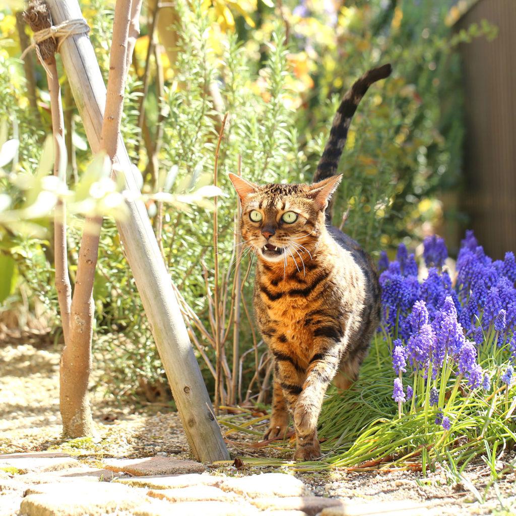 猫 ベンガル cat bengal くうちゃん