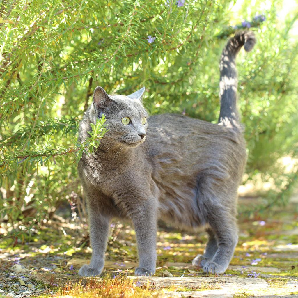 猫 ロシアンブルー cat russianblue そらちゃん