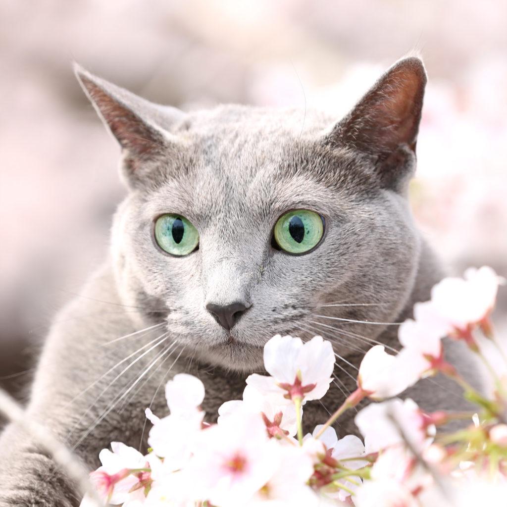 猫 ロシアンブルー cat russianblue あおちゃん