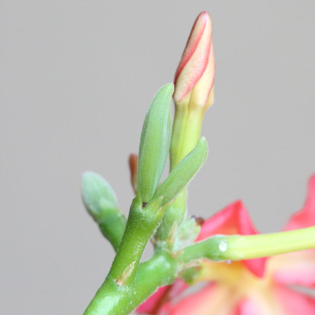 Pachypodium baronii windsorii seeds パキポディウム ウィンゾリー バロニー