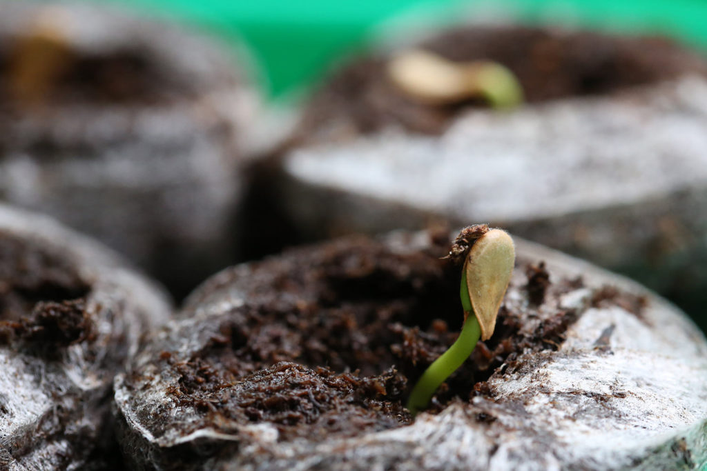 Pachypodium baronii windsorii seeds パキポディウム ウィンゾリー バロニー 塊根植物