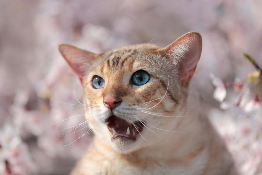 猫 スノーベンガル ベンガル cat snowbengal bengal TIAC だいちゃん