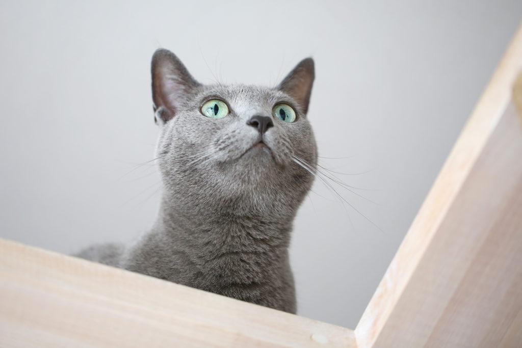 猫と一緒にグリーンライフ 猫 ロシアンブルー cat russianblue そらちゃん
