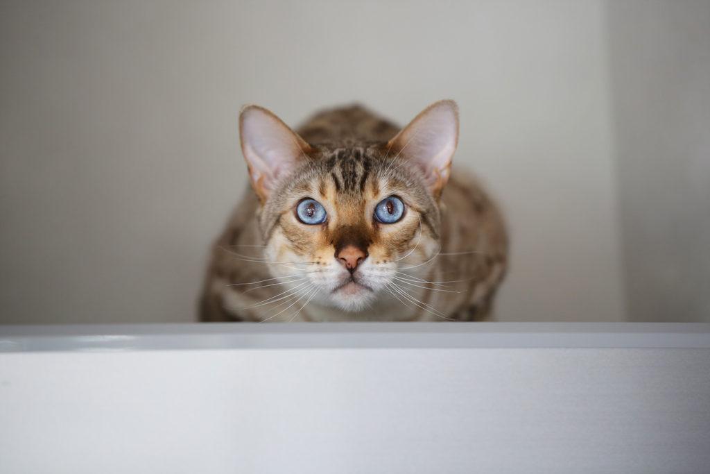 猫 スノーベンガル ベンガル cat snowbengal bengal TICA だいちゃん