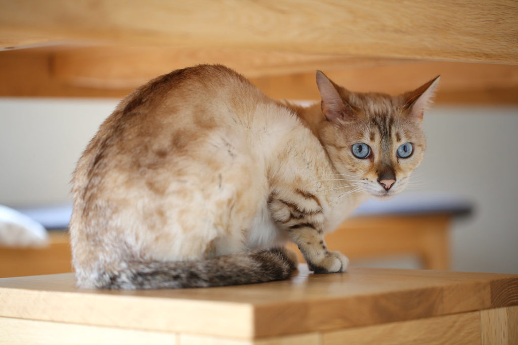 猫 スノーベンガル ベンガル cat snowbengal bengal TICA ふくちゃん