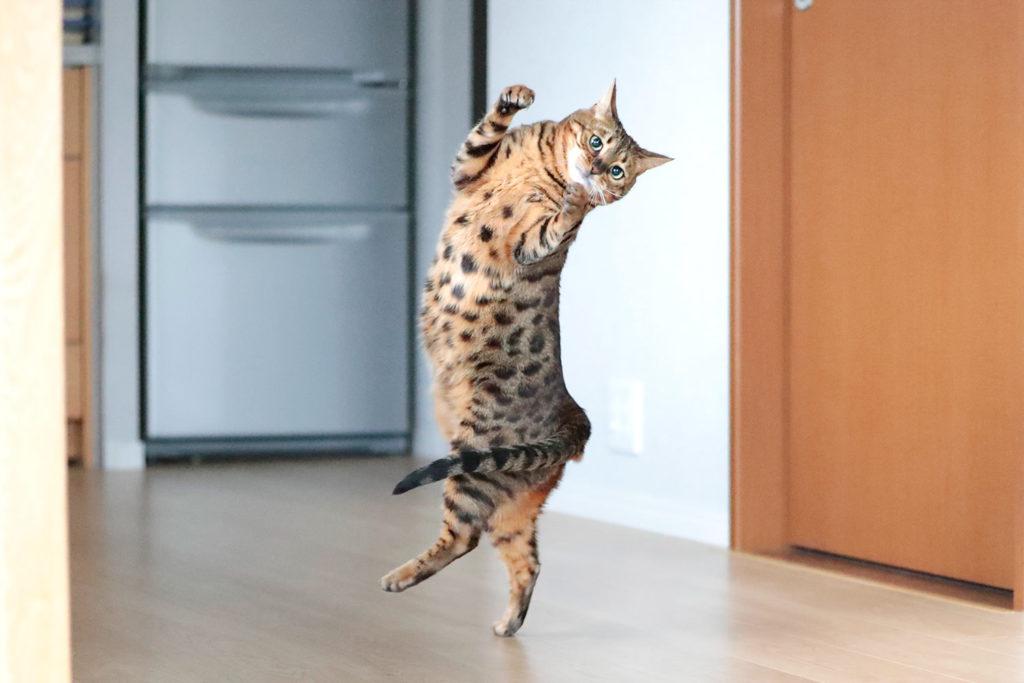 猫 スノーベンガル ベンガル cat bengal TICA くうちゃん