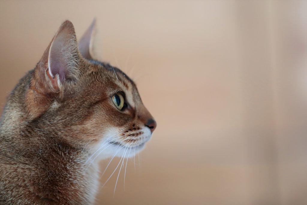 猫 アビシニアン cat Abyssinian TICA ふうちゃん