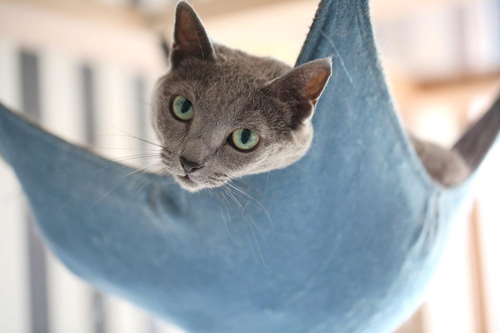 猫と一緒にグリーンライフ 猫 ロシアンブルー cat russianblue あおちゃん