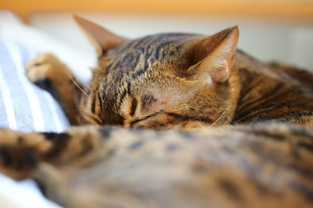 猫 スノーベンガル ベンガル cat bengal TICA りくちゃん