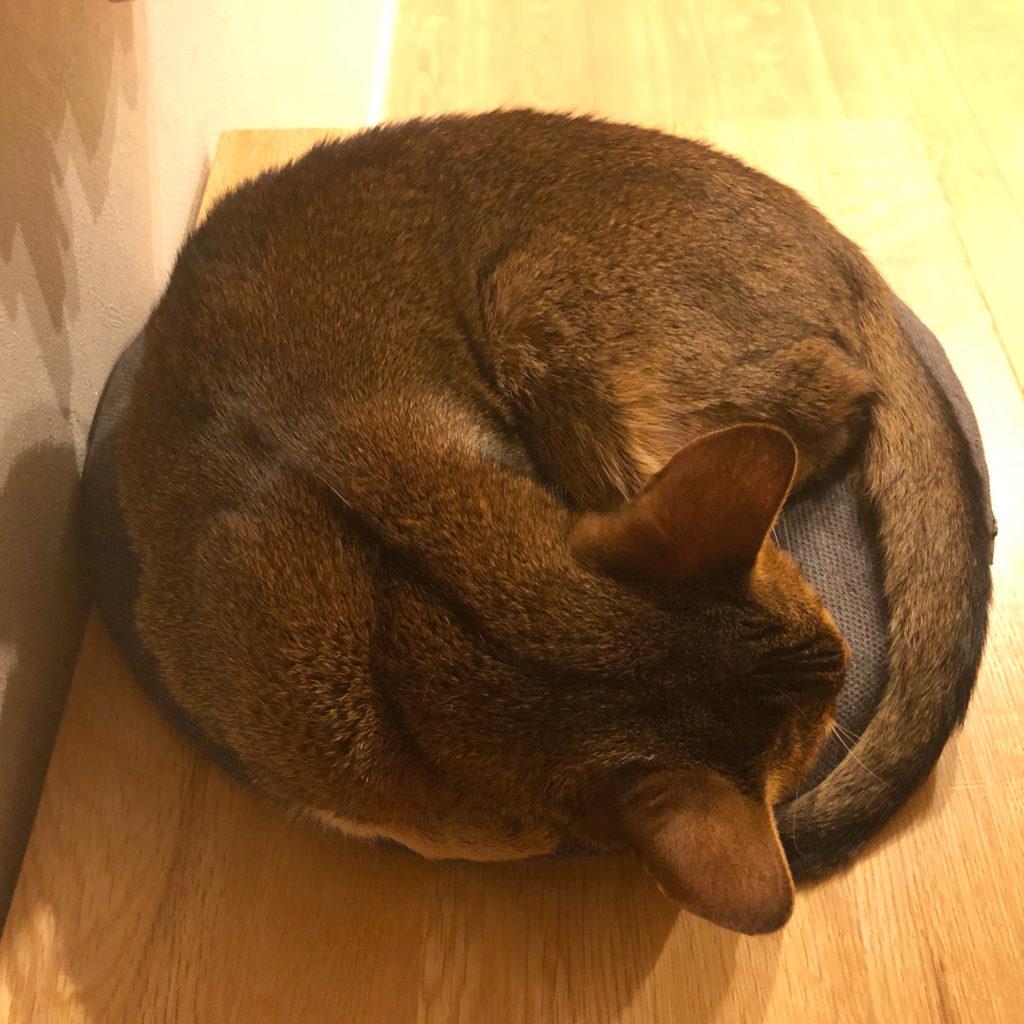 猫 ねこ ねこのいる生活 ねこのきもち アビシニアン cat abyssinian TICA ふうちゃん